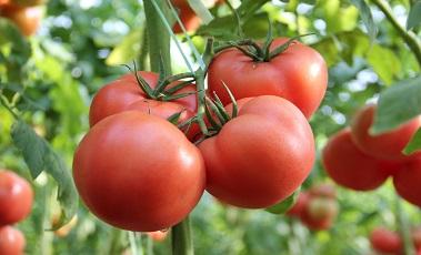番茄增產水溶肥哪家好?北農世喜水溶肥廠家好