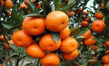廣西客戶趙先生柑橘種植基地
